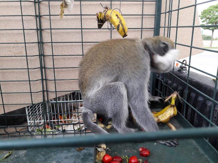 Mahallede görülen maymunu yakalayıp, beslediler