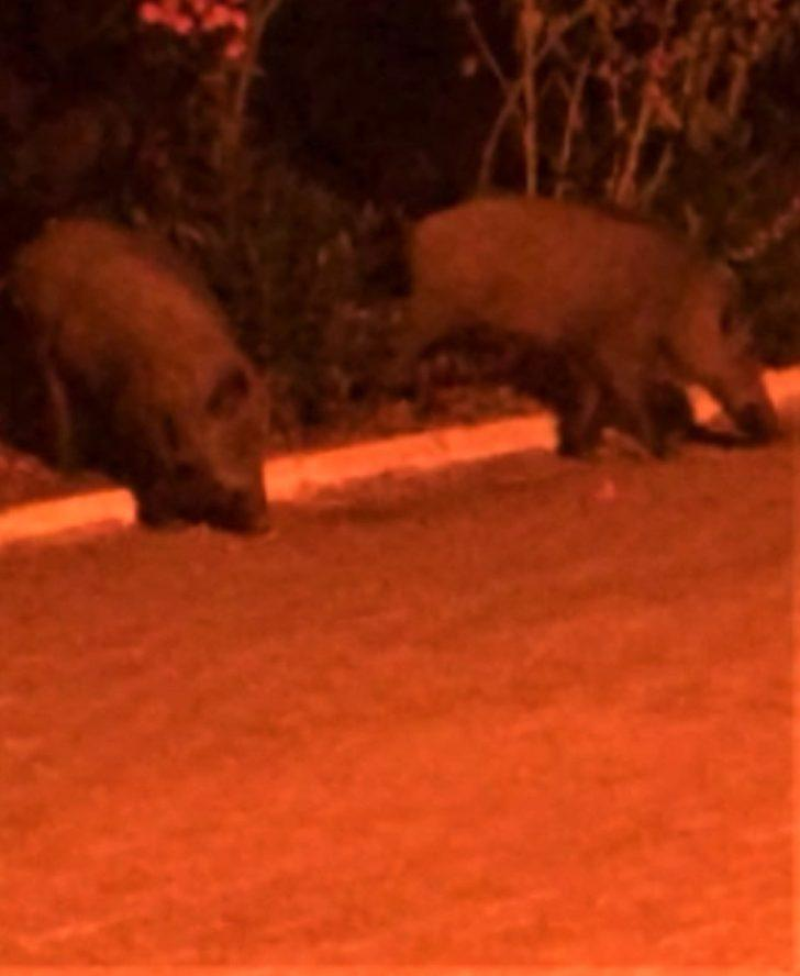 Kazdağı'ndaki domuzlar aç kalınca Altınoluk'a indi