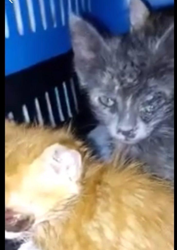 Gözleri enfeksiyon kapan 3 kedi tedavi için İstanbul'a gönderildi
