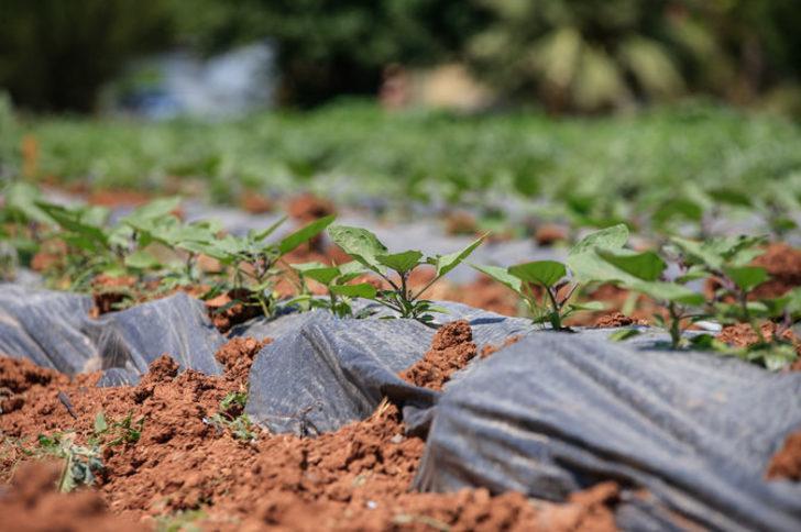 30 yıl önce 'uyutulan' tohumlar toprakla buluştu