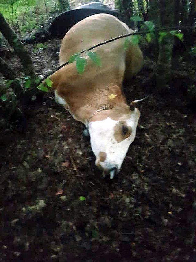 Mengen'de yıldırım düştü, 3 inek telef oldu