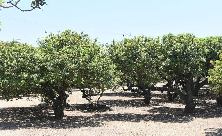 Çeşme'de sakız ağaçlarından hasat zamanı