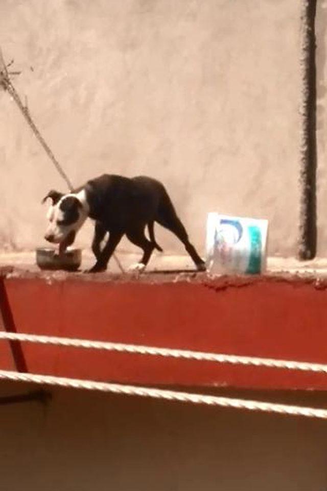 Çatıya bağlanan pitbull'un sıcakta zor anları