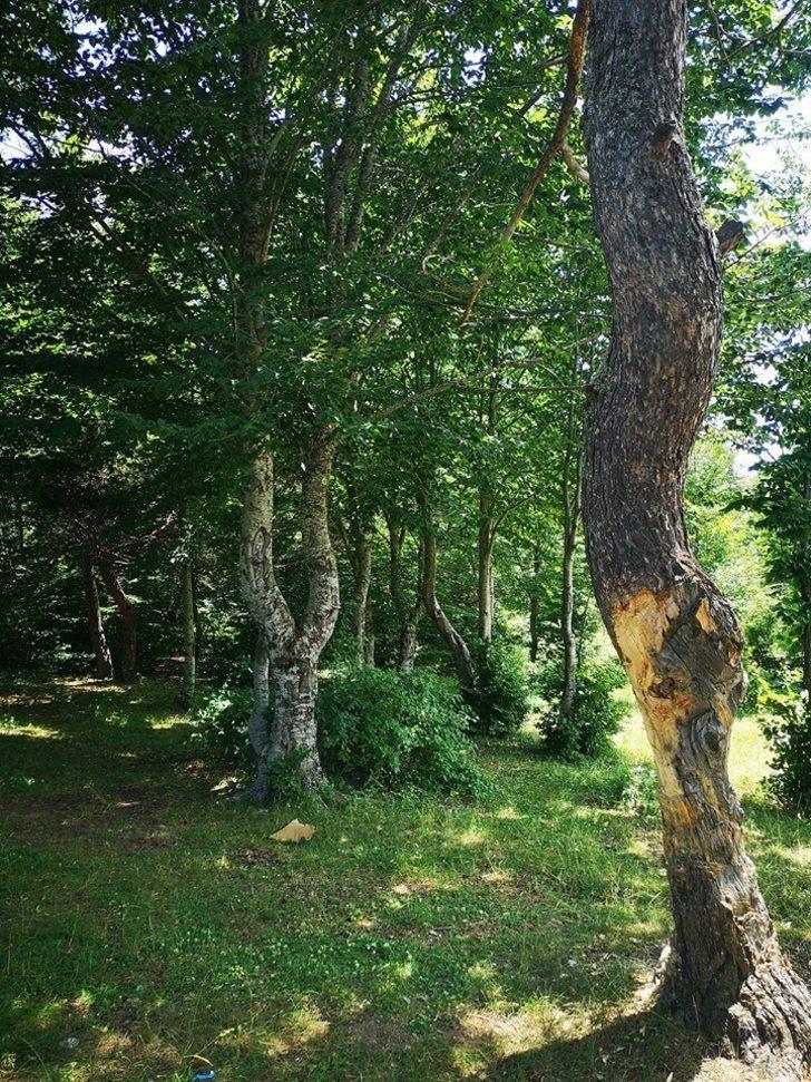 Çıra için ağaçların gövdelerini oydular