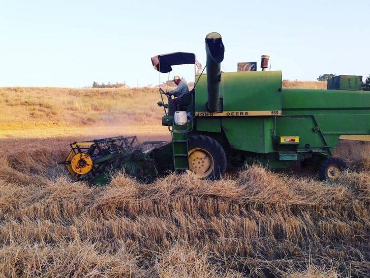 Nallıhan'da arpa ve buğdaylar biçilmeye başladı