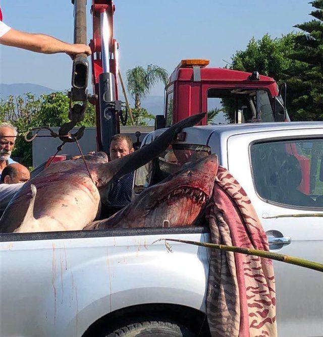 Fethiye'de balıkçıların ağına 400'er kiloluk 2 köpek balığı takıldı