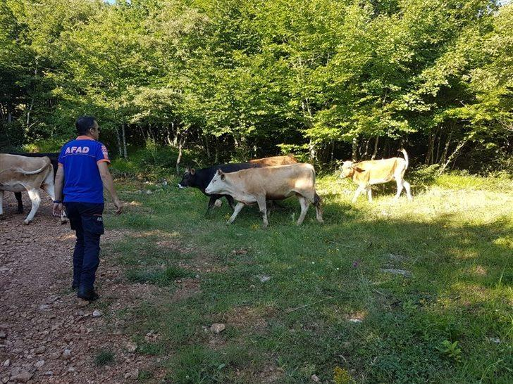Ormanda kaybolan inek sürüsünden 9'u AFAD insansız hava aracı ile bulundu