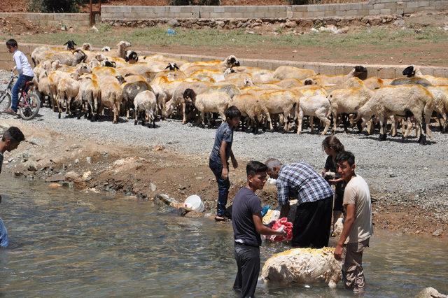 İslahiye'de, koyunlar derede serinletiliyor