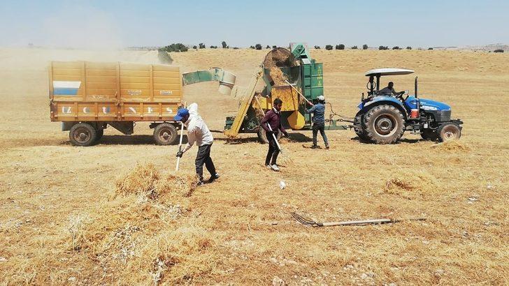 Mazıdağı'nda mercimek hasadı sürüyor