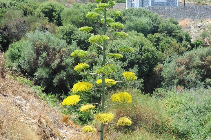 UNESCO'nun dünya mirası listesinde! İzmir'in ender bitkisi agave çiçek açtı