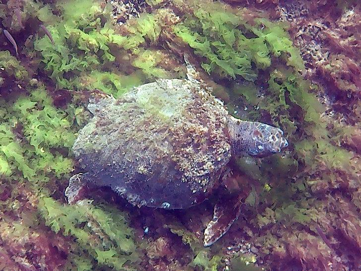 Çanakkale Boğazı'nda deniz kaplumbağası görüntülendi