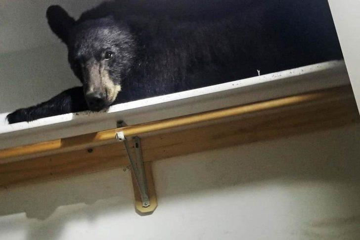 Eve giren ayı kendini kitleyip gardıropta uyuyakaldı!