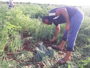 Yeşil soğanın çuvalı tarlada 5, halde 100 lira