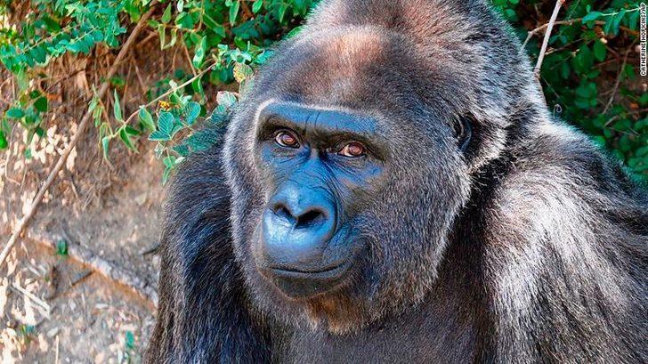 Dünyanın bilinen en yaşlı gorili öldü!