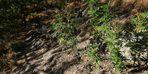 Ormanda kenevir yetiştiren şahıs jandarmaya yakalandı