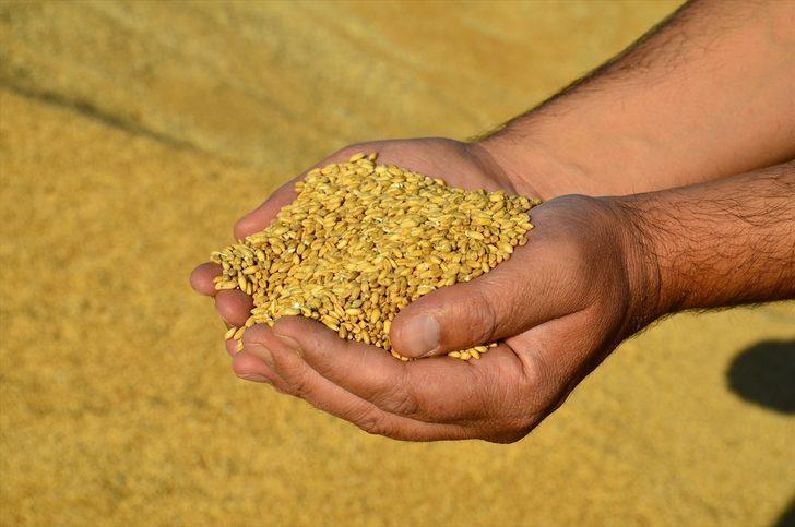 Yüzde 31 artan hububat fiyatları çiftçiyi sevindirdi