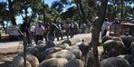Bayramiç'te kurbanlık küçükbaşlar kasap fiyatına satılıyor