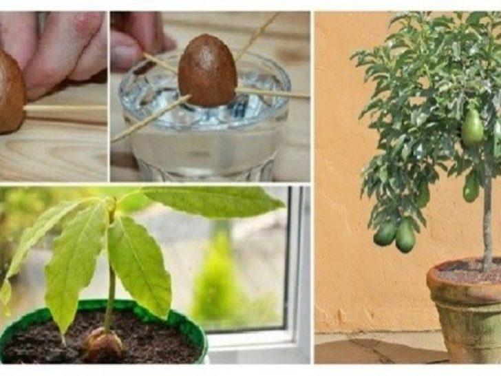 Evde avokado nasıl yetiştirilir?