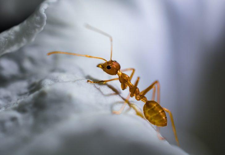 Evinizi karıncalar mı bastı, işte doğal kurtulma yöntemi