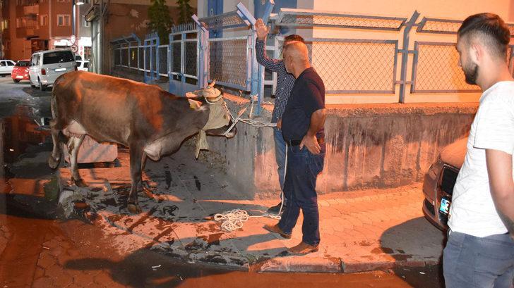 Sivas'ta ipini koparıp kaçan kurbanlık ineği polis yakaladı