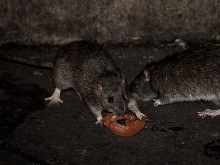 Hollanda'da fare alarmı!