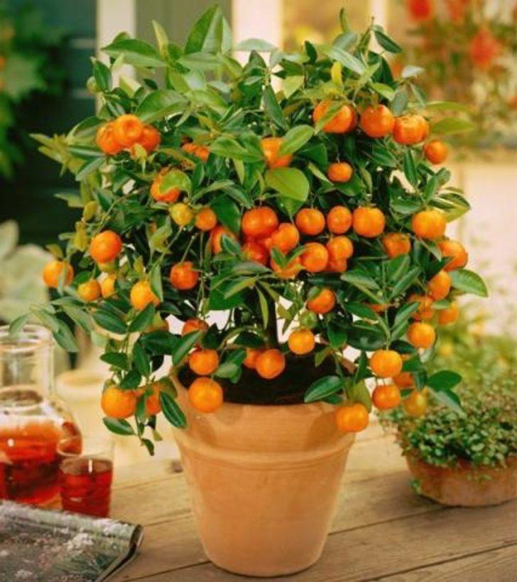 Artık Her Mevsim Mandalina Yiyebiliriz: Evde Mandalina Nasıl Yetişir?