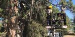 Bilecik'te anıt ağaçlara bakım ve rehabilitasyon çalışması yapıldı
