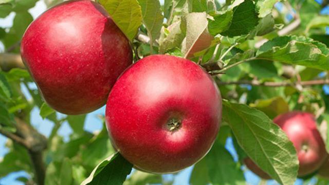 Bu elmaya çocuklar bayılıyor! Yapımı sadece 5 dakika sürüyor