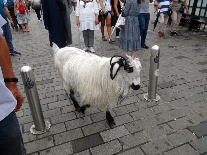 Taksim'de gezen keçi vatandaşların ilgi odağı oldu