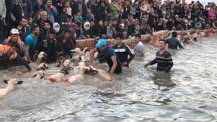 Şafak vakti koyunlarını buz gibi sudan geçirmek için yarıştılar