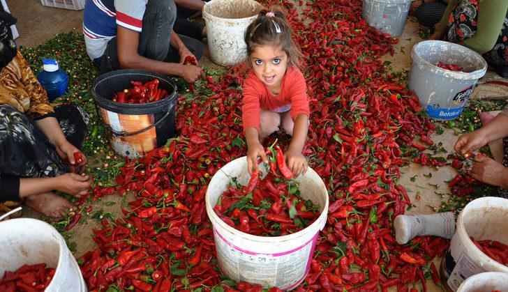 Kırmızı biber 8 bin kişiye iş sağlıyor