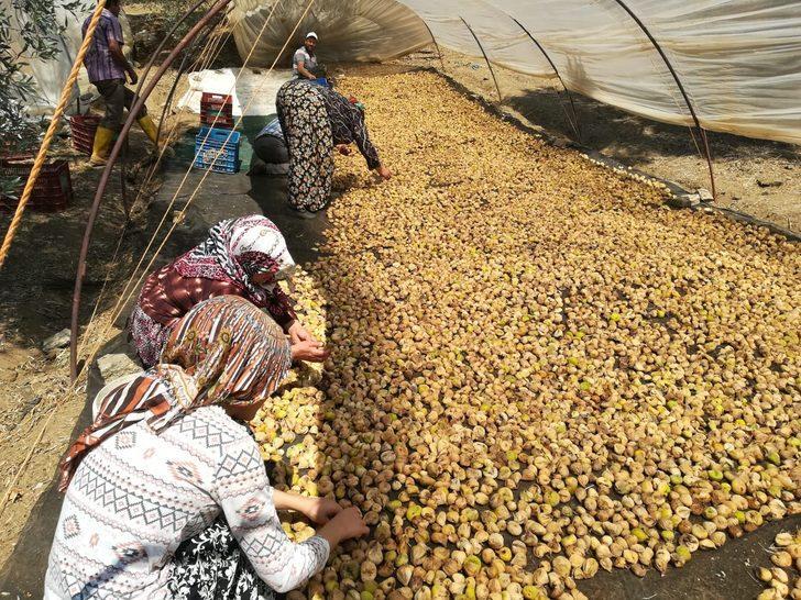Üreticisi şokta! Son yılların en kaliteli ürününü yetişti, inciri alan satan yok