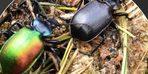 'Terminatör böcek' ormana bırakıldı! Yok edecekler