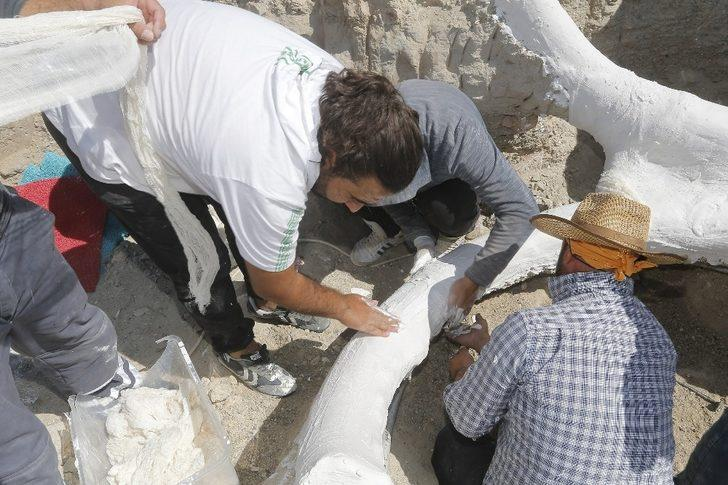 7,5 milyon yıllık fosil, özel yöntemle Bilim Merkezi'ne taşındı