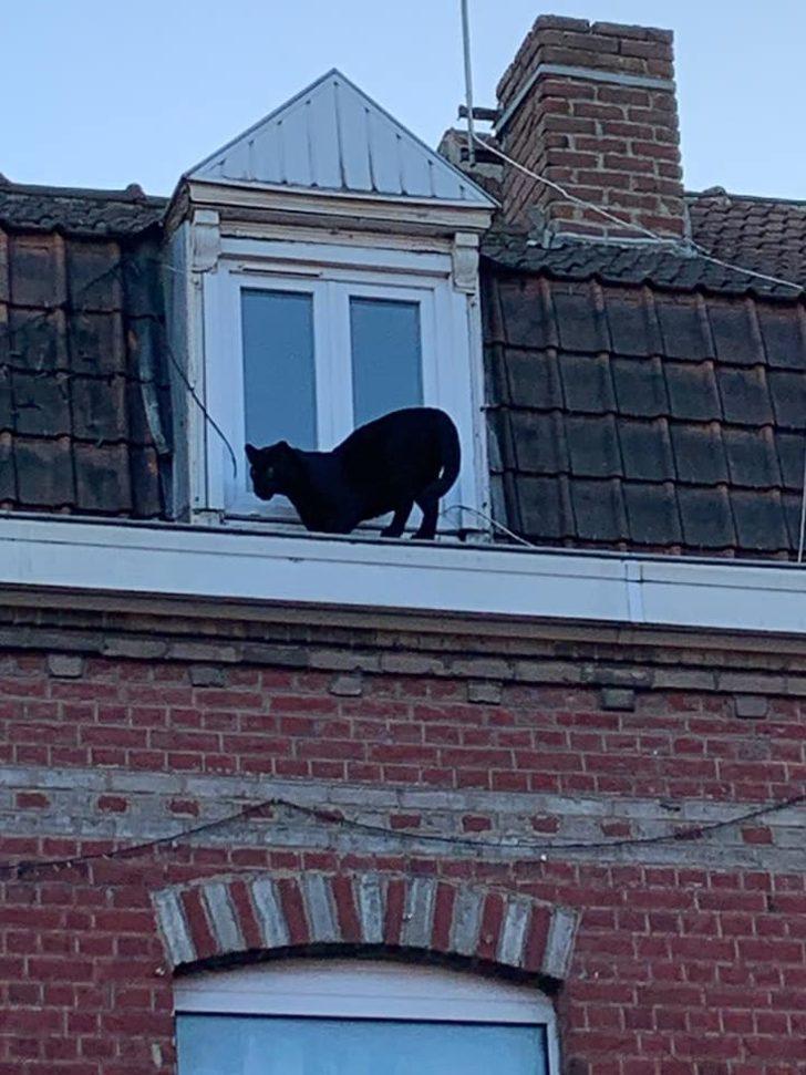 Çatı katında panter şoku