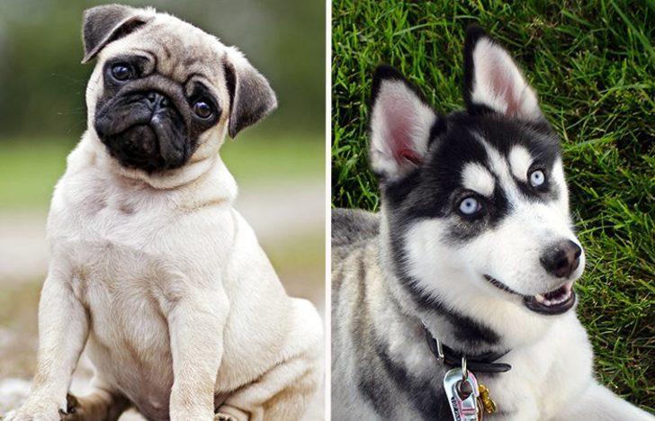 Bu iki farklı ırkın yavrusu sizce neye benzer? İşte yanıtı...