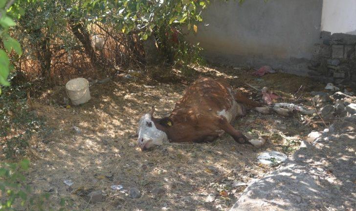 Çöp kenarında bir inek telef oldu