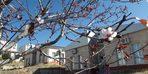 Yozgat'ta mevsimini şaşıran erik ağacı çiçek açtı