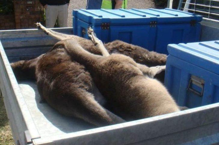 Resmen vahşet! Eğlence için 20 kanguruyu öldürdüler
