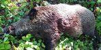 Yaklaşık 150 kilogram olan domuzu avladılar