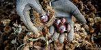 Erken hasat başladı: Kilosu 15 TL