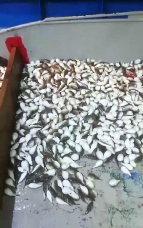 Antalya'da balıkçı ağına yüzlerce balon balığı takıldı