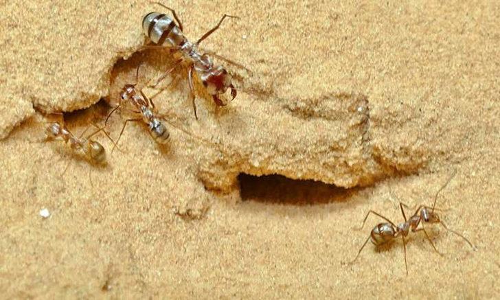 Dünyanın en hızlı karıncası! Saniyede katettiği mesafe şoke etti