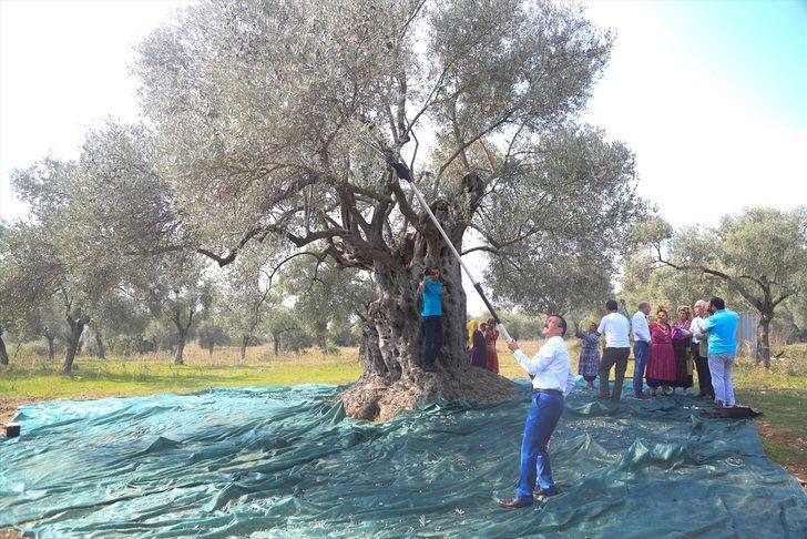 3 bin 200 yıllık ağaçtan çıkacak zeytinyağının litresi 100 bin liradan satılacak