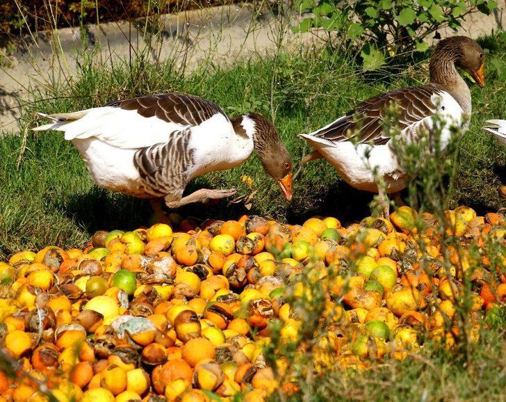 Çürüyen mandalinalar kazlara yem oldu