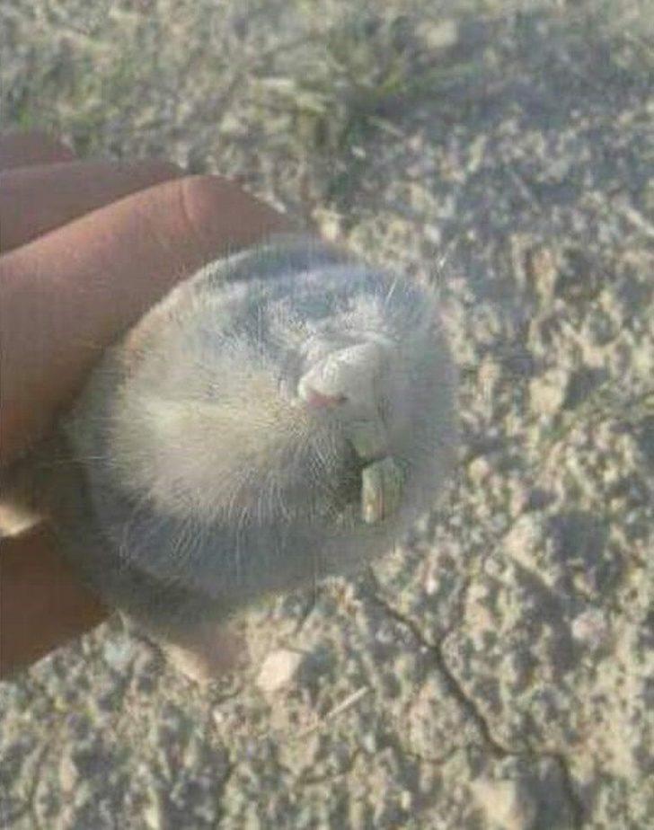 İlk bakışta köstebek sandılar ama kör fare çıktı