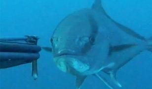 Çanakkale'de dev balığın avlanma anı böyle görüntülendi