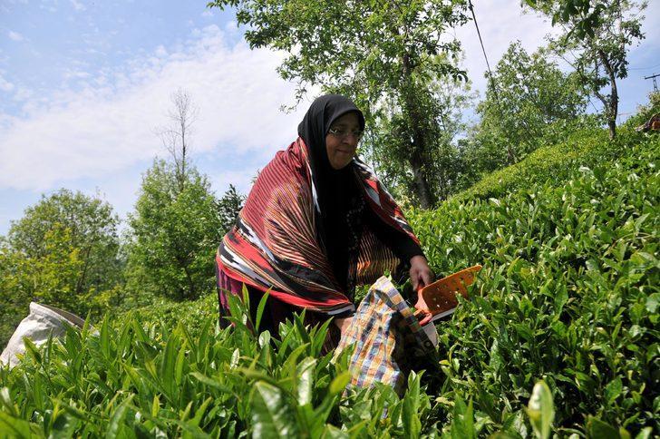 Doğu Karadeniz'de yaş çay hasadının başlama tarihi belli oldu