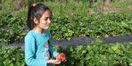 Sason'da çilek hasadı devam ediyor