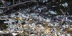 (Özel) Bursa'da yine çevre felaketi...Manyas'tan doğan Kara Dere'de binlerce balık öldü